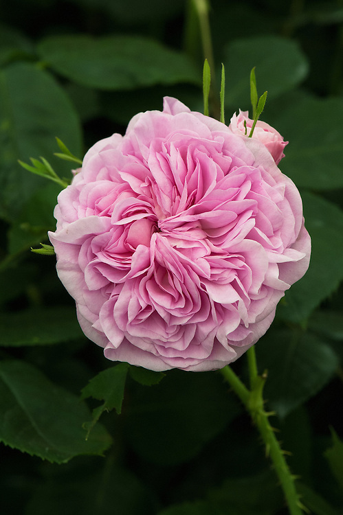 Rose 'La Ville de Bruxelles'. A Damask rose from Vibert, France, 1836.