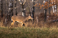 White-tailed doe walking in a late afternoon autumn meadow.