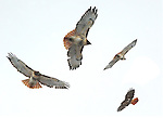 Photos  Jim Mendenhall 2012 Hawk soars over back yard