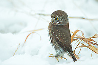 Northern Pygmy-Owls are visual hunters and will look for prey they have missed rather than listen for it. (Washington)