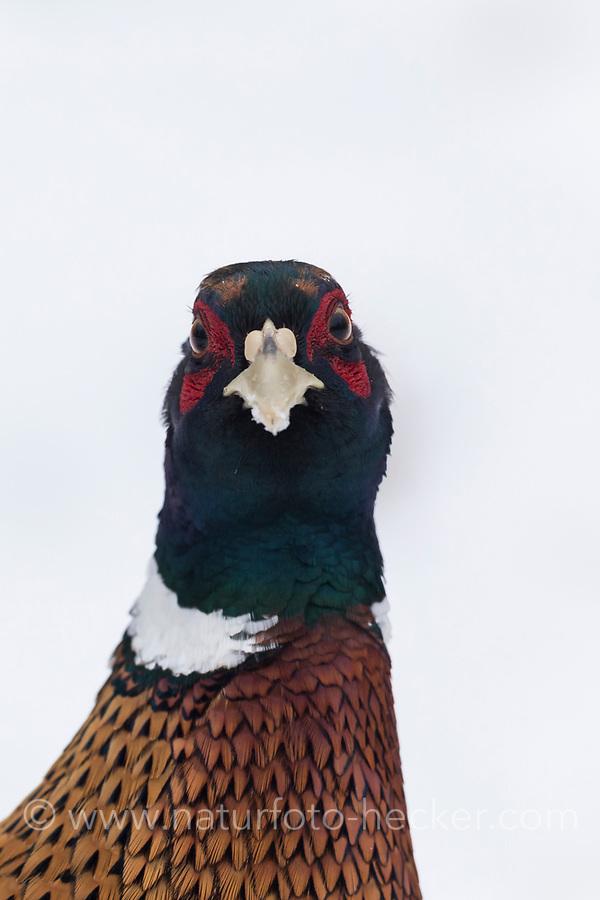 Fasan, Jagdfasan, Jagd-Fasan, Männchen im Schnee, Hahn, Phasianus colchicus, common pheasant, pheasant, male, ring-necked pheasant, Le Faisan de Colchide, le faisan à collier, le faisan de chasse
