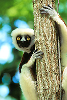 Coquerel's Sifaka (Propithecus verreauxi), Endangered Species (C.A.)