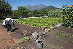 Gardeners planting seedlings, market garden, Babylonstoren estate, Western Cape, South Africa, February 2013