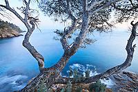 France, Var (83), Le Rayol-Canadel-sur-Mer, Domaine du Rayol, à la pointe du Figuier, pin d'Alep (Pinus halepensis ) (utilisation presse et édition livre uniquement avec mention obligatoire du nom du jardin) // France, Var, Le Rayol Canadel sur Mer, Domaine du Rayol, at the point of Figuier, Aleppo pine (Pinus halepensis) (press and publishing book use only with mention of the name of the garden)