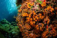 Star Coral (Astroides calycularis)   Steinkoralle, Gozo, Maltese Islands