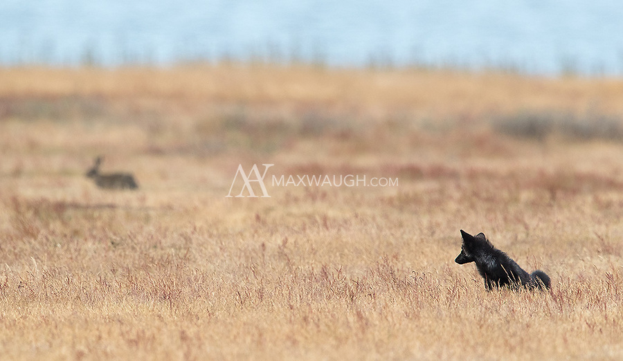 A black fox kit eyes a rabbit, one of the fox's main prey animals.