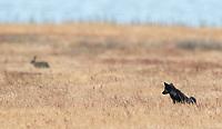 A black fox kit eyes a rabbit, one of the fox's main prey animals.