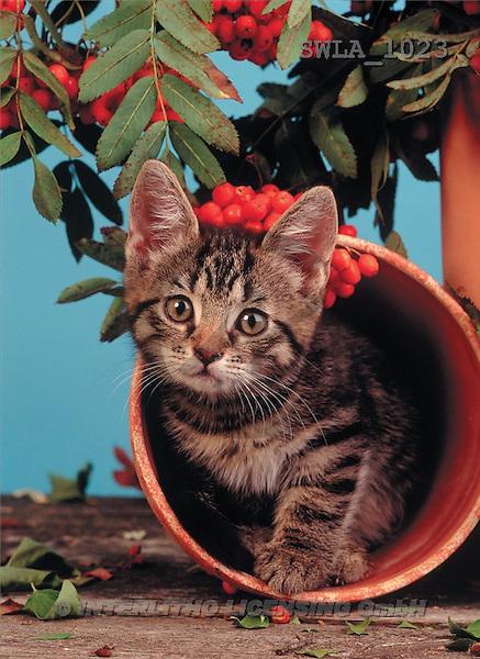 Carl, ANIMALS, photos(SWLA1023,#A#) Katzen, gatos
