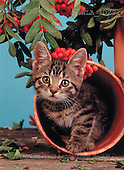Carl, ANIMALS, photos(SWLA1023,#A#) Katzen, gatos