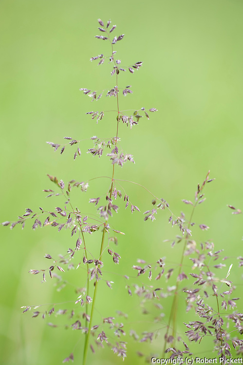 Close up of grasses in meadow, Kuhmo, Finland, Lentiira, Vartius near Russian Border