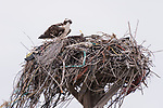 Guerroro Negro, Baja California Sur, Mexico; an osprey sitting in its nest made of branches, wire and plastic on top of a man-made platform on an overcast day