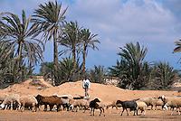 Schafe bei Plage de Seguia, Djerba, Tunesien