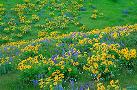 USA, Washington, Columbia River Gorge National Scenic Area, Spring bloom of Northwest balsamroot and broad-leaf lupine.