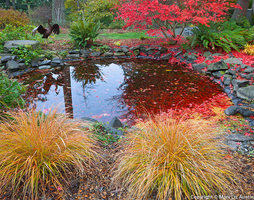 Vashon Island, WA<br /> Two mounds of pheasant grass (Anemanthele lessoniana) on the edge of a pond with 'Fireglow' Japanese maple in vibrant red fall color.