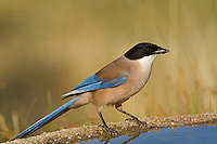 Azure-winged Magpie - Cyanopica cyana