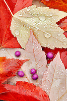 Beautyberry berries (Callicarpa) and fall colred maple leaves and rain drops. Wilsonville. Oregon
