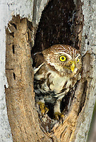 563990062 a wild ferruginous pygmy owl glassidium brasilianum peers out from a cavity nest in a tree on a private ranch in tamaulipas state mexico
