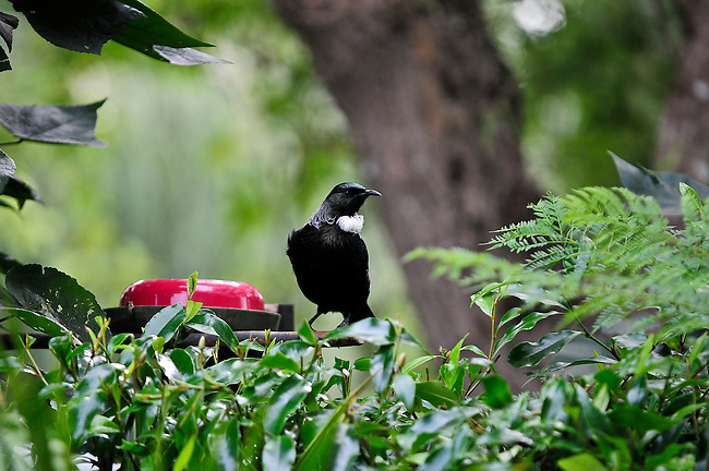 Feeding Tui in Auckland garden, taken for Forest & Bird magazine.