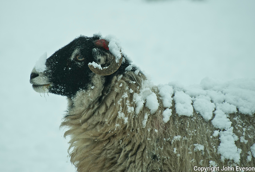 Swaledale ewe with snow on head and body, Chipping, Lancashire.