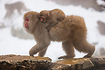 Japan, Japanese Alps, snow monkey female with young on back