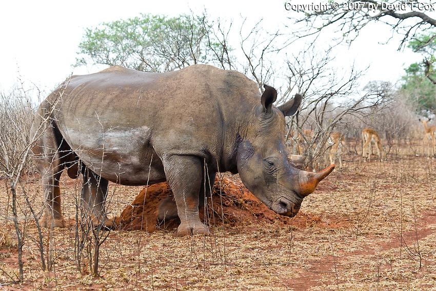 White Rhino bull marking, Mkuze Game Reserve, SA
