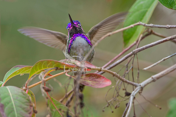 Male Costa's Hummingbird (Calypte costae) with wings stretched to lift off perch.