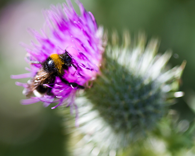 The Bee and the Thistle
