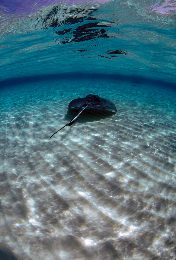 Vertical image representing pristine Caribbean waters with a sole southern stingray (dasyatis americana) skating across a ridged sandy bottom and reflecting on the surface - Stingray City - Grand Cayman Islands.