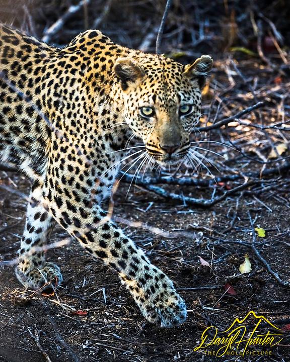 Leopard Portrait, on the prowl,  Kruger National Park,