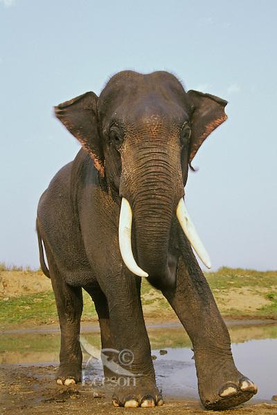 4ME13  Indian Elephant or Asian Elephant (Elephas maximus) bull.  India.