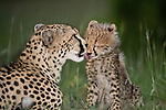 Loving bond between mother and cubs by Fabrizio Bignotti