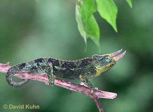 "1106-07oo  Jackson chameleon ""Hunting for Prey"" - Chamaeleo jacksonii - © David Kuhn/Dwight Kuhn Photography"