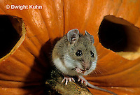 MU59-023z  White-Footed Mouse - on Jack-o-lantern -  Peromyscus leucopus