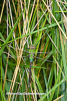 06361-00710 Common Green Darner (Anax junius) dragonfly female Marion Co.  IL
