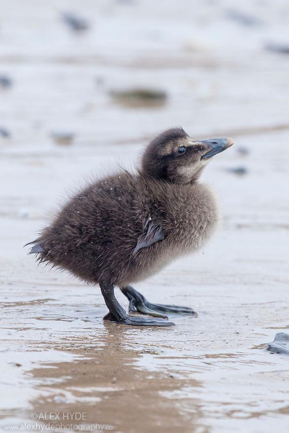 Eider duckling (Somateria mollissima) on beach, Northumberland, UK. May.