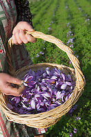 Europe/France/Midi-Pyr&eacute;n&eacute;es/46/Lot/Gaillac:Ramassage du Safran du Quercy &agrave; la safrani&egrave;re de la ferme de Didier Doucet par sa m&egrave;re Raymonde  //  France, Lot, Gaillac, Didier Doucet's Farm, saffron plantation, Quercy Saffron, harvesting of Crocus sativus flowers where saffron is extracted <br />  [Non destin&eacute; &agrave; un usage publicitaire - Not intended for an advertising use]