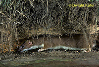 MA28-035z  Short-Tailed Weasel - ermine in brown summer coat looking for prey in tunnel  - Mustela erminea