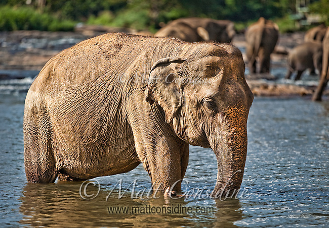 A dusty old elephant wades into the water. (Photo by Matt Considine - Images of Asia Collection)