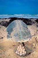 Kemp's ridley sea turtle, Lepidochelys kempii ( endangered ), deposits eggs into nest ( opened at rear for photography ) Rancho Nuevo, Mexico, Gulf of Mexico, Atlantic Ocean