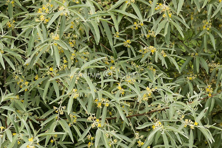 Olivier de Bohème, Elaeagnus angustifolia en fleurs // Elaeagnus angustifolia, commonly called silver berry, oleaster,Russian olive, or wild olive in flowers.