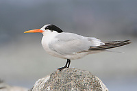 Adult Elegant Tern (Sterna elegans) in non-breeding plumage. Monterey County, California. November.