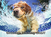 REALISTIC ANIMALS, REALISTISCHE TIERE, ANIMALES REALISTICOS, dogs, paintings+++++SethC_Caster_IMG_3513rev,USLGSC22,#A#, EVERYDAY ,underwater dogs,photos,fotos ,Seth