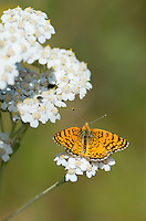 337970003 a wild mylitta crescent butterfly phycoides mylitta perches on a white flower in modoc county california