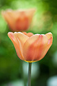 Tulip 'Apricot Beauty' (Single Early Group), late April.