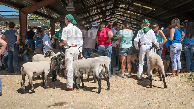 Day 2 of the Amador County Fair, Plymouth, Calif.<br /> <br /> Awaiting a sheep class at the show ring