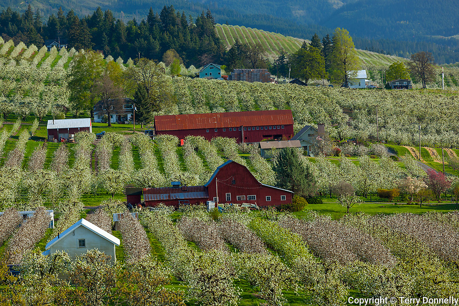 Hood River County, OR       <br /> Rows of fruit orchards in blossom surrounding red barns in the Hood River Valley