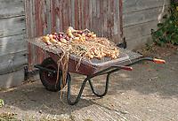 Onions drying on a grid on a wheelbarrow, Shropshire.