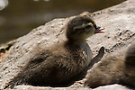 Wood Duck Chick, Aix sponsa
