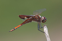 Carolina Saddlebags (Tramea carolina) Dragonfly - Juvenile Male, Lake Kissimmee State Park, Lake Wales, Florida