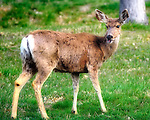 White tailed deer on grass looking back